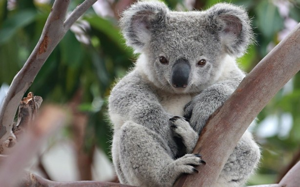 rsz_koala-desktop-wallpaper-50909-52603-hd-wallpapers-1024x640